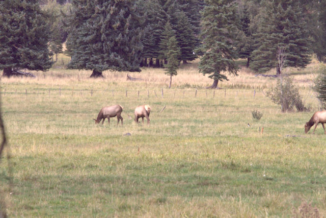 Grazing Elk Cows